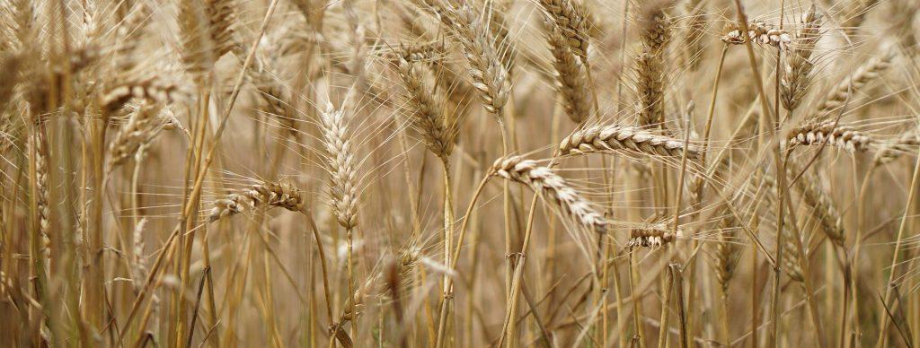 Pailles biodégradables en paille de blé